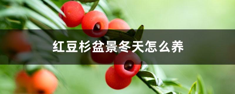 红豆杉盆景冬天怎么养