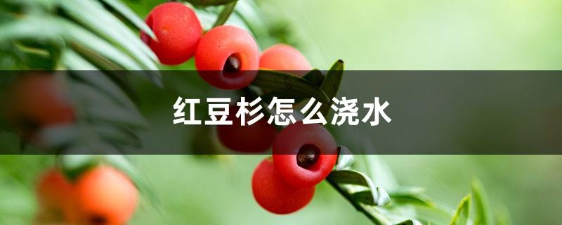 红豆杉怎么浇水