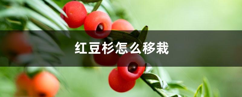 红豆杉怎么移栽