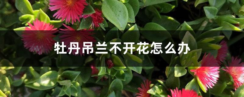 牡丹吊兰不开花怎么办