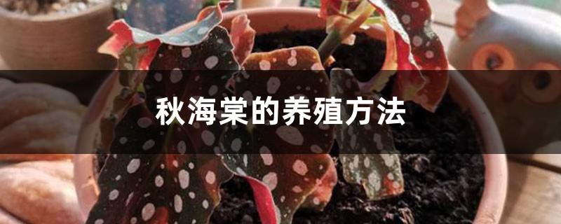 秋海棠的养殖方法
