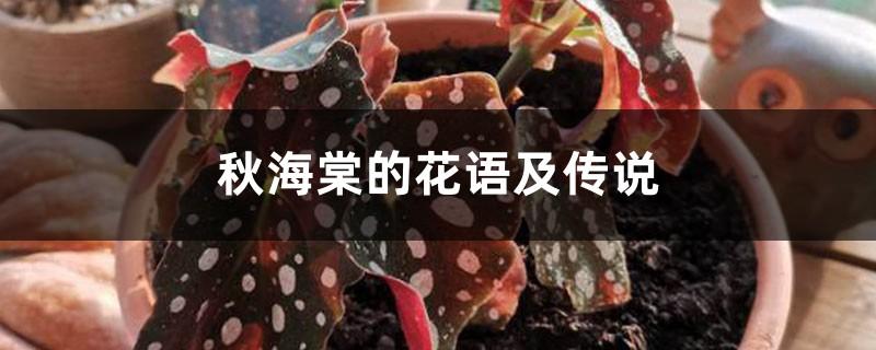 秋海棠的花语及传说