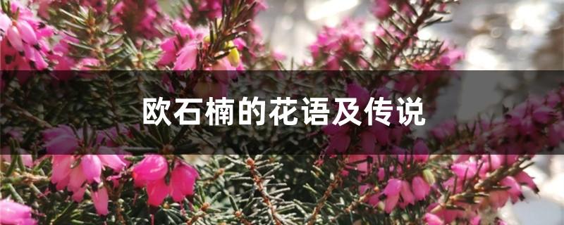 欧石楠的花语及传说