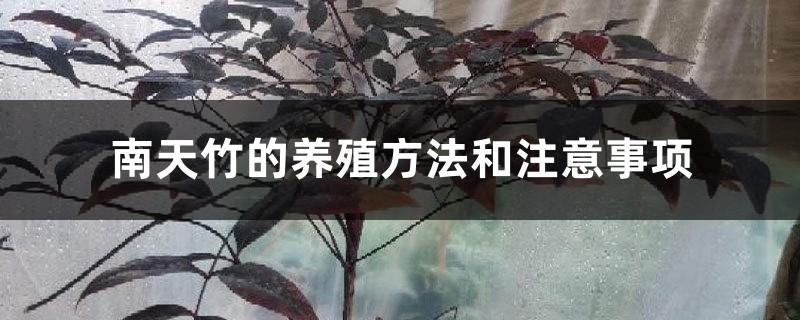 南天竹的养殖方法和注意事项