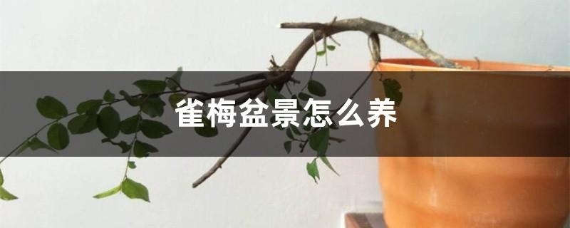 雀梅盆景怎么养
