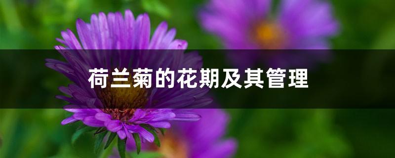 荷兰菊的花期及其管理
