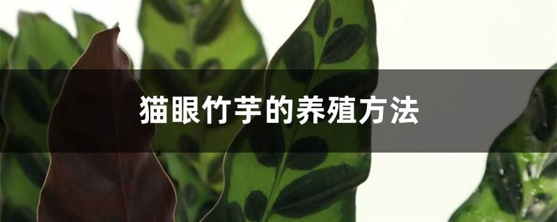 猫眼竹芋的养殖方法