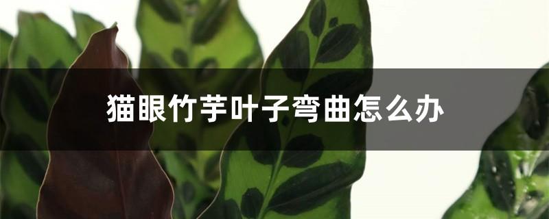 猫眼竹芋叶子弯曲怎么办