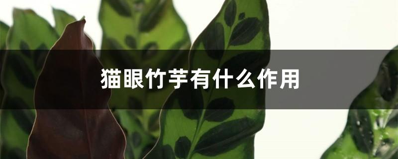 猫眼竹芋有什么作用