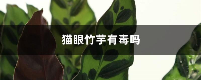 猫眼竹芋有毒吗