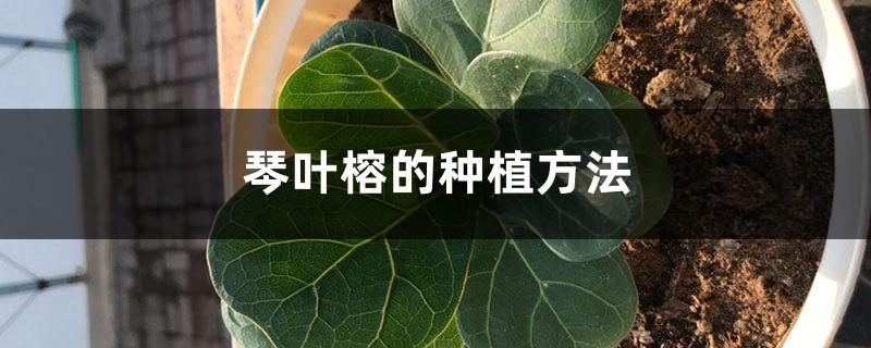 琴叶榕的种植方法