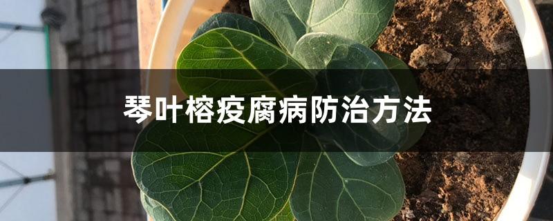 琴叶榕疫腐病防治方法