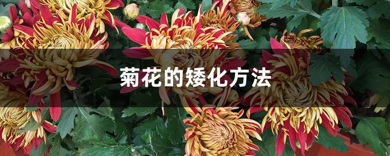 菊花的矮化方法