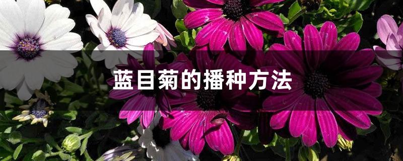 蓝目菊的播种方法