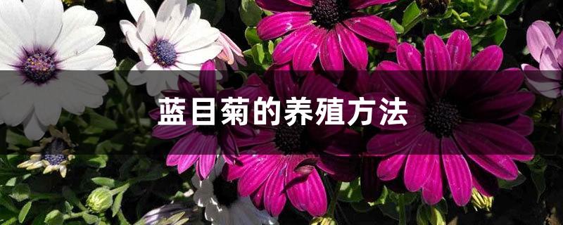 蓝目菊的养殖方法