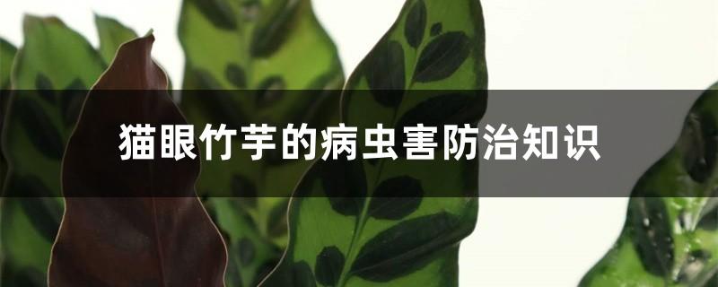 猫眼竹芋的病虫害防治知识