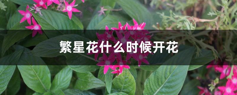繁星花什么时候开花