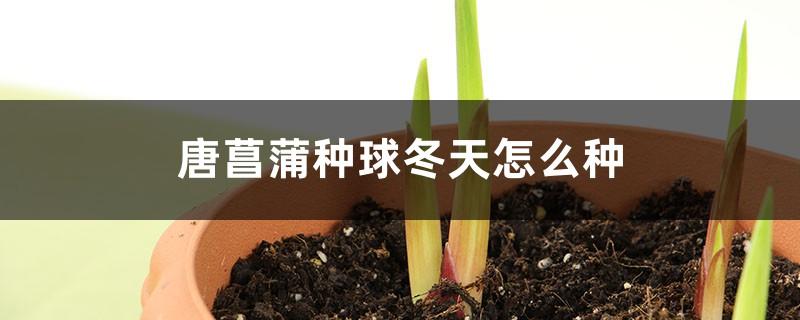 唐菖蒲种球冬天怎么种