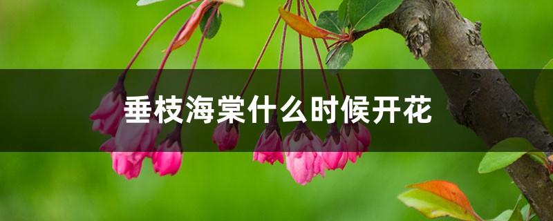 垂枝海棠什么时候开花