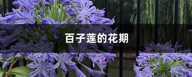百子莲的花期
