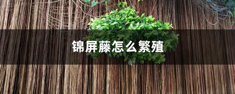 锦屏藤怎么繁殖