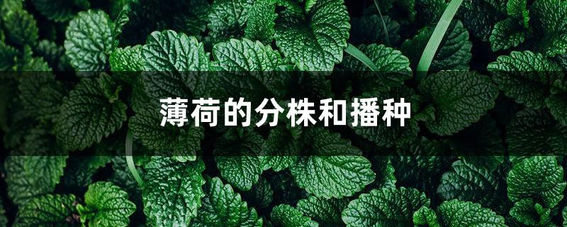 薄荷的分株和播种