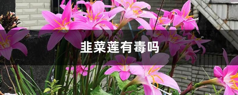 韭菜莲有毒吗