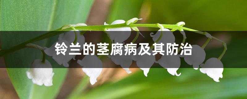 铃兰的茎腐病及其防治