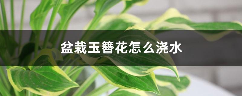 盆栽玉簪花怎么浇水