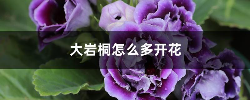 大岩桐怎么多开花