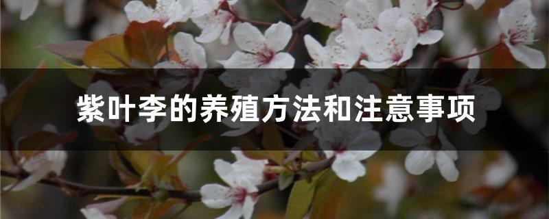 紫叶李的养殖方法和注意事项