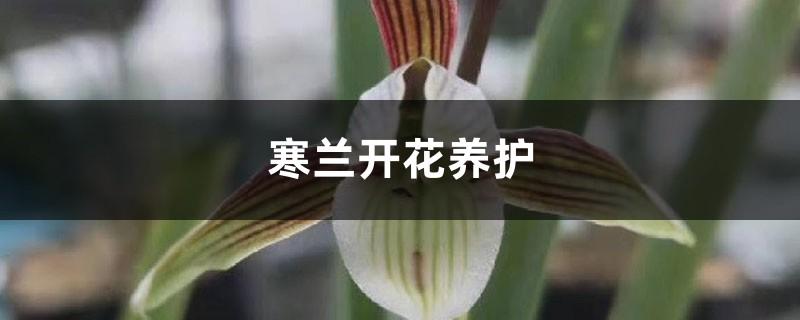寒兰开花养护