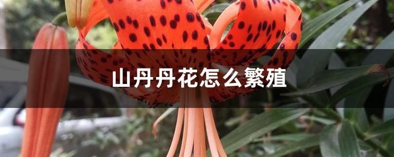 山丹丹花怎么繁殖