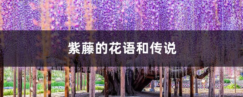 紫藤的花语和传说
