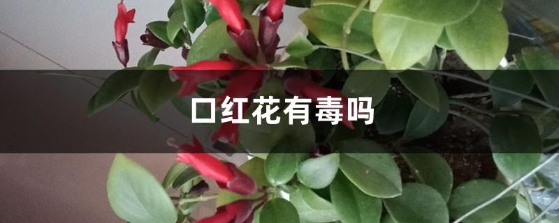 口红花有毒吗