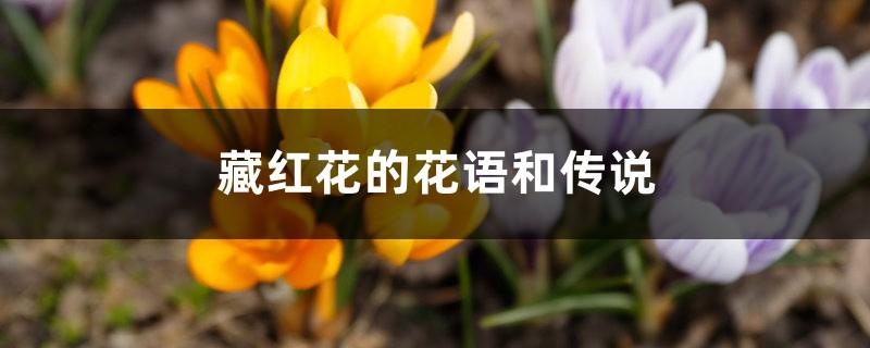 藏红花的花语和传说