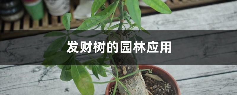 发财树的园林应用