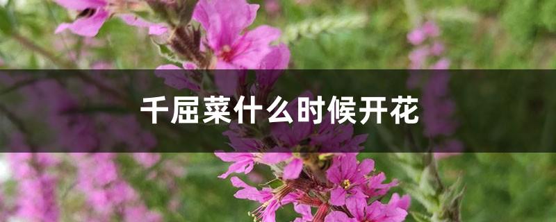 千屈菜什么时候开花