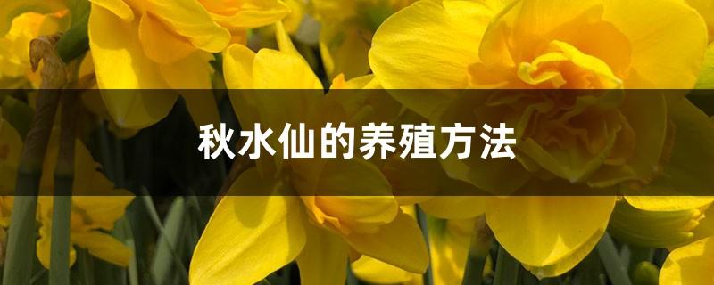 秋水仙的养殖方法