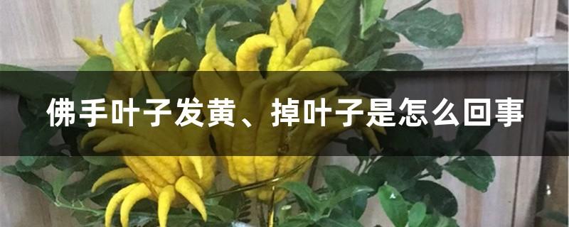 佛手叶子发黄、掉叶子是怎么回事