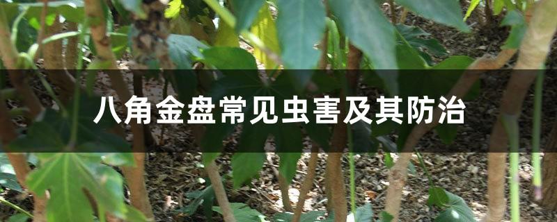 八角金盘常见虫害及其防治