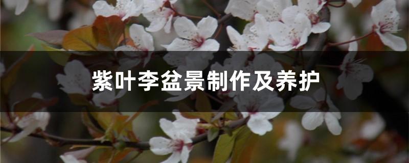 紫叶李盆景制作及养护