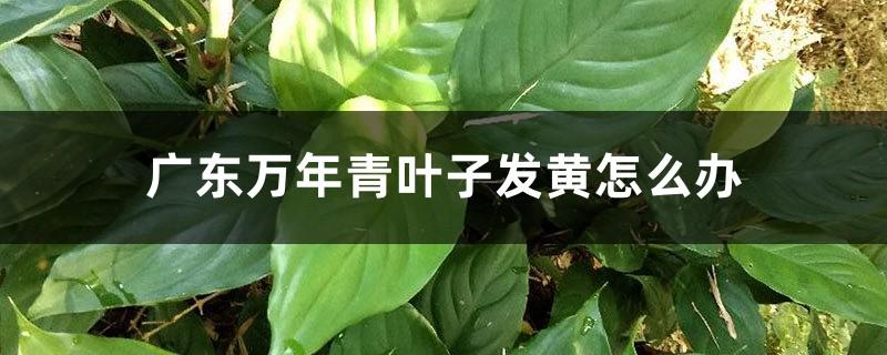 广东万年青叶子发黄怎么办