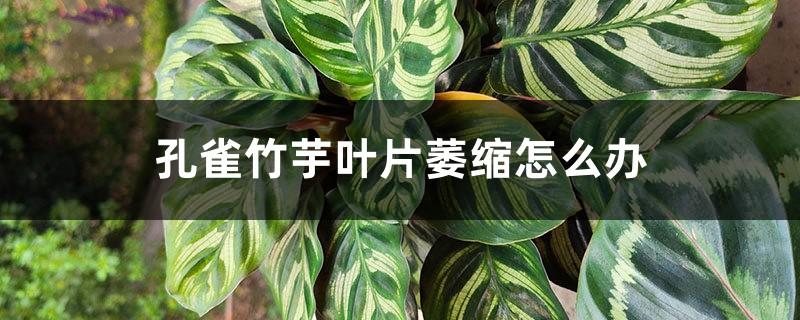 孔雀竹芋叶片萎缩怎么办