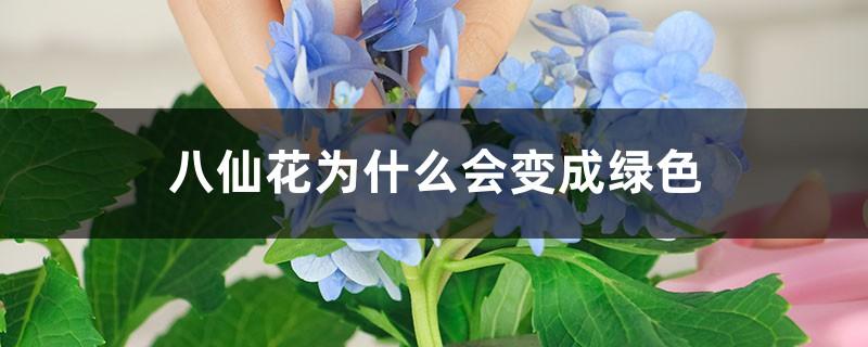 八仙花为什么会变成绿色