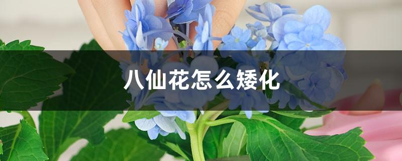 八仙花怎么矮化