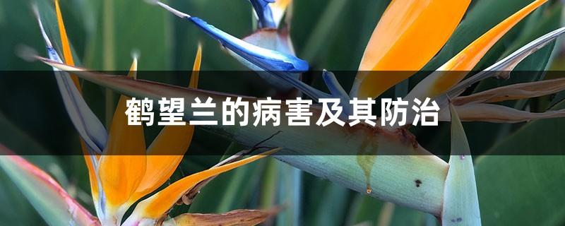 鹤望兰的病害及其防治