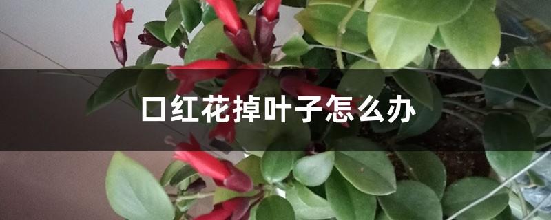 口红花掉叶子怎么办