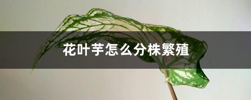 花叶芋怎么分株繁殖