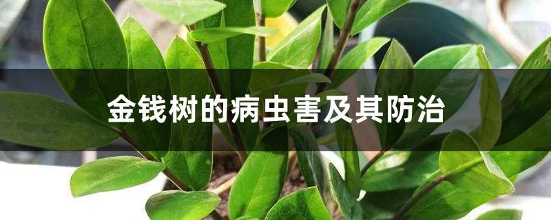金钱树的病虫害及其防治
